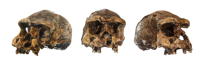 Set of Homo erectus skull. Discovered in 1969 in Sangiran, Java, Indonesia. With these dated to 1 million years ago we can use tooth enamel to solve mysteries like travel and what prehistoric Britons ate.