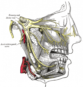 Gray's anatomy graphic of the jaw